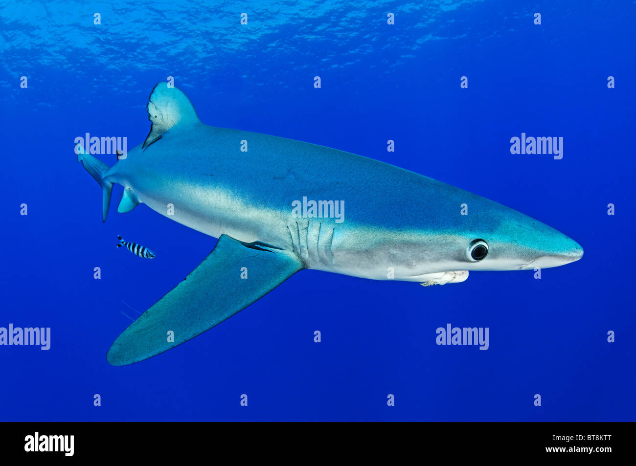 Blue Shark and pilotfisch, Prionace glauca, Naucrates ductor, Azores, Portugal, Atlantic Ocean Stock Photo