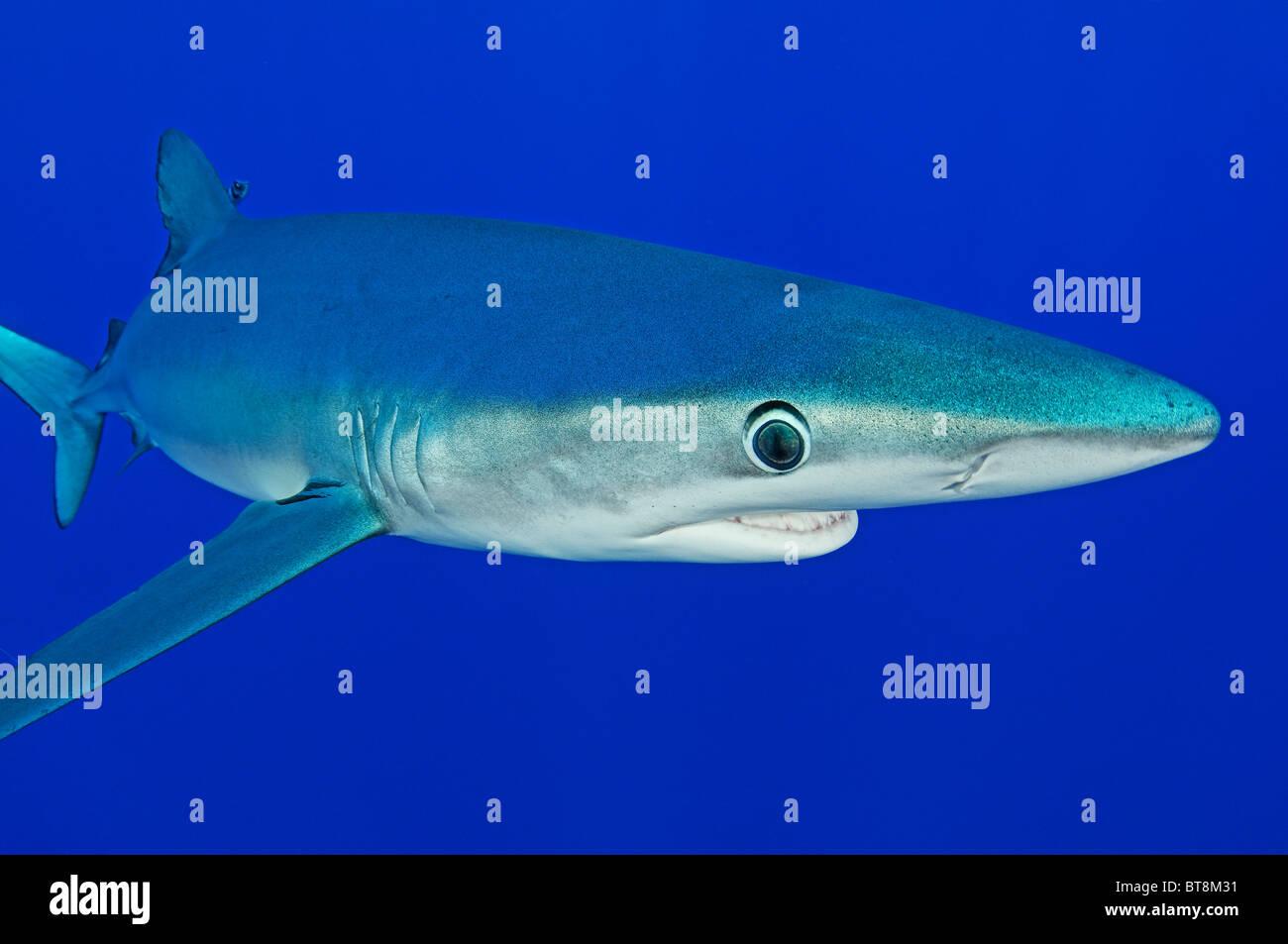 Blue Shark, Prionace glauca, Azores, Portugal, Atlantic Ocean Stock Photo