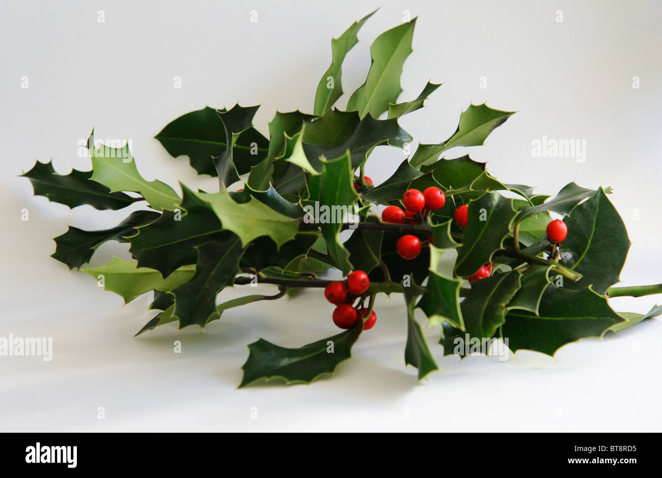 Holly sprigs with berries - Stock Image