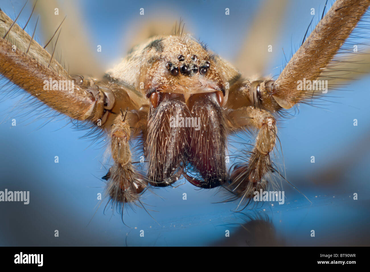 Detail of palps and mouthparts, eyes of Tegenaria domestica, domestic house spider - Stock Image