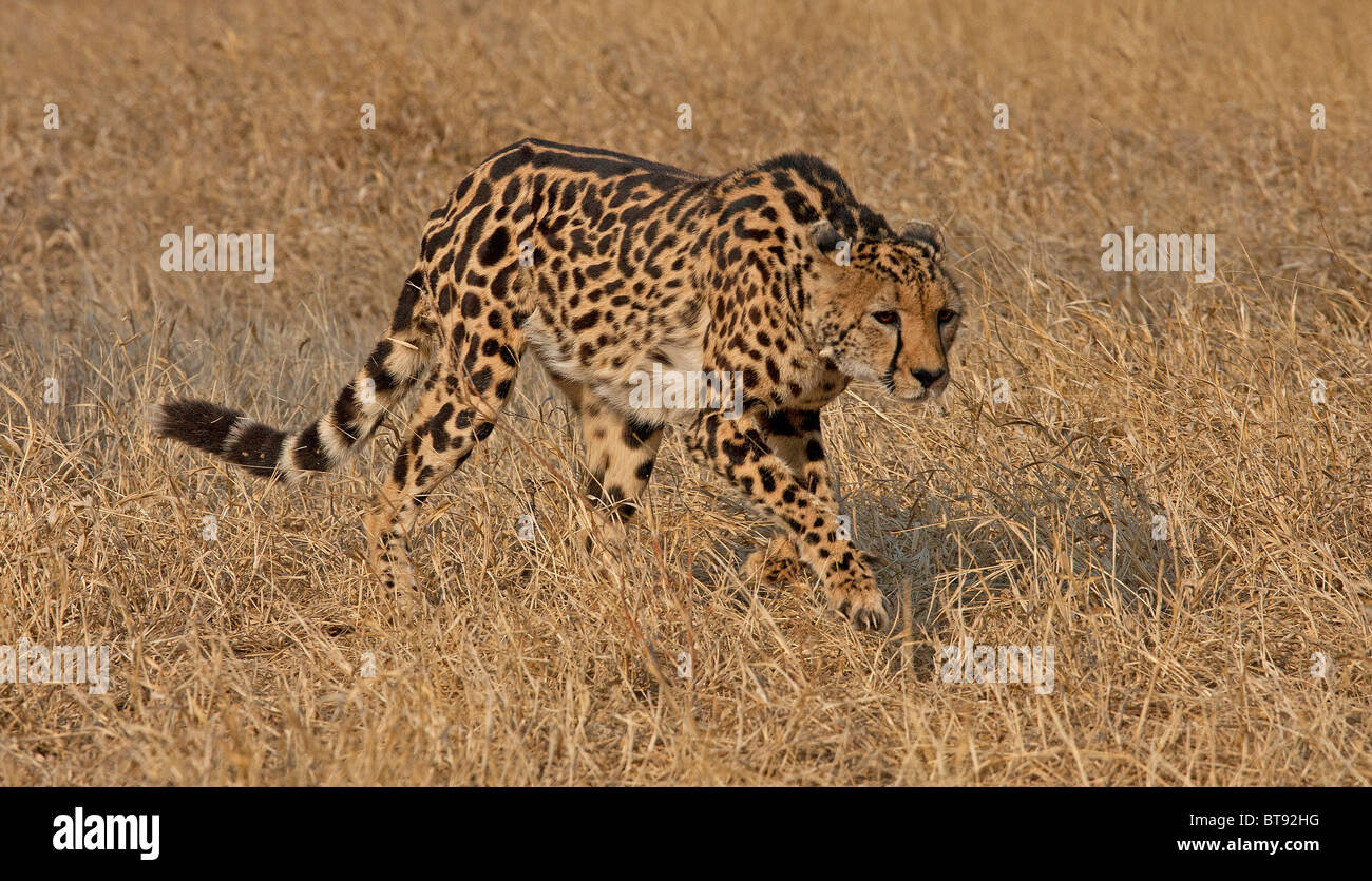 King Cheetah At The Tshukudu Reserve In The Kruger National Park Stock Photo Alamy