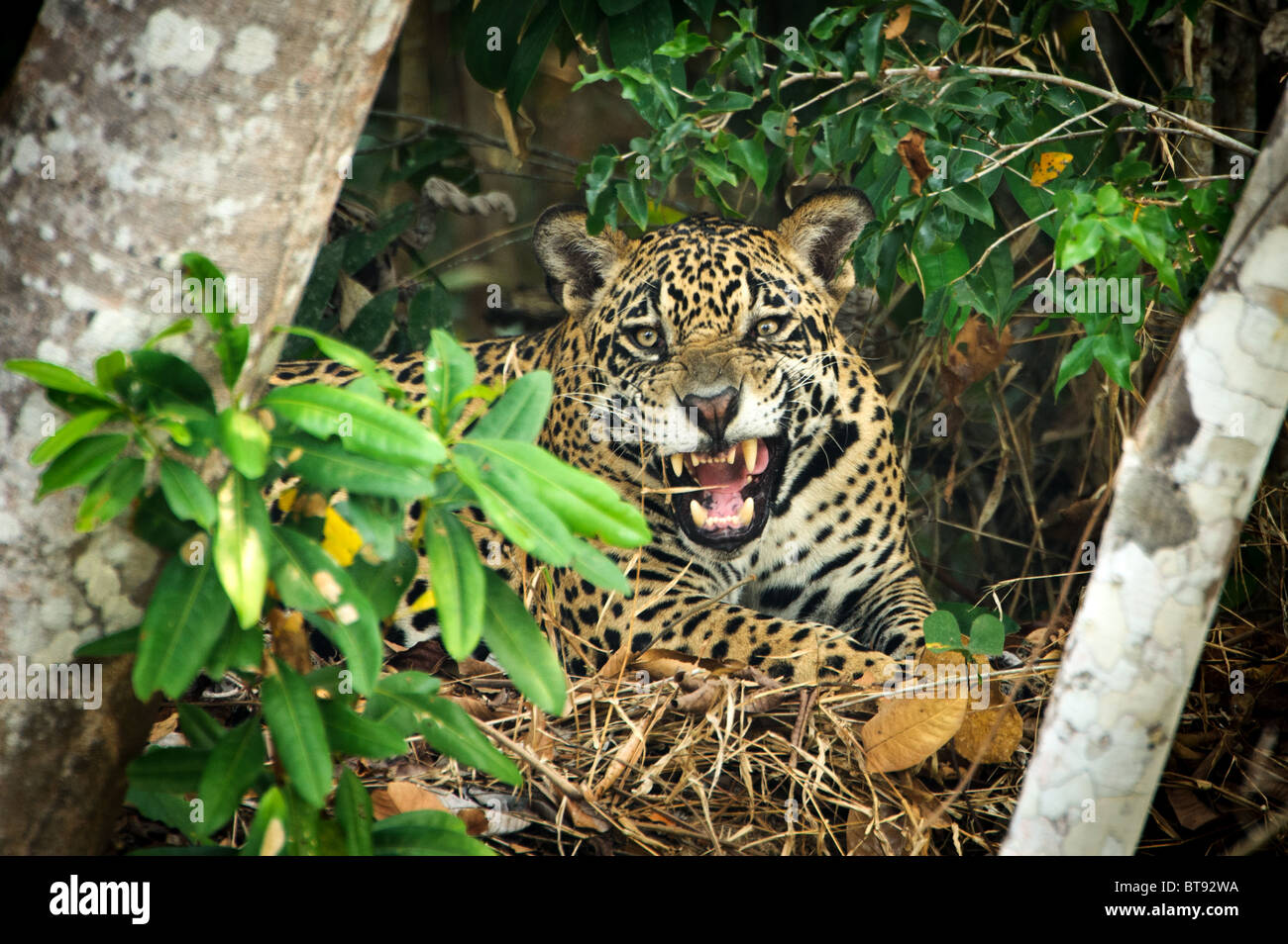 Wild Jaguar in the Pantanal - Stock Image