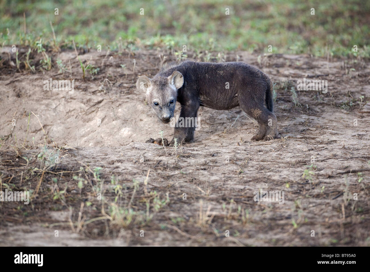 Young spotted Hyena Hyaena cub Crocuta crocuta alone but close to parents in Ndutu clan Tanzania - Stock Image