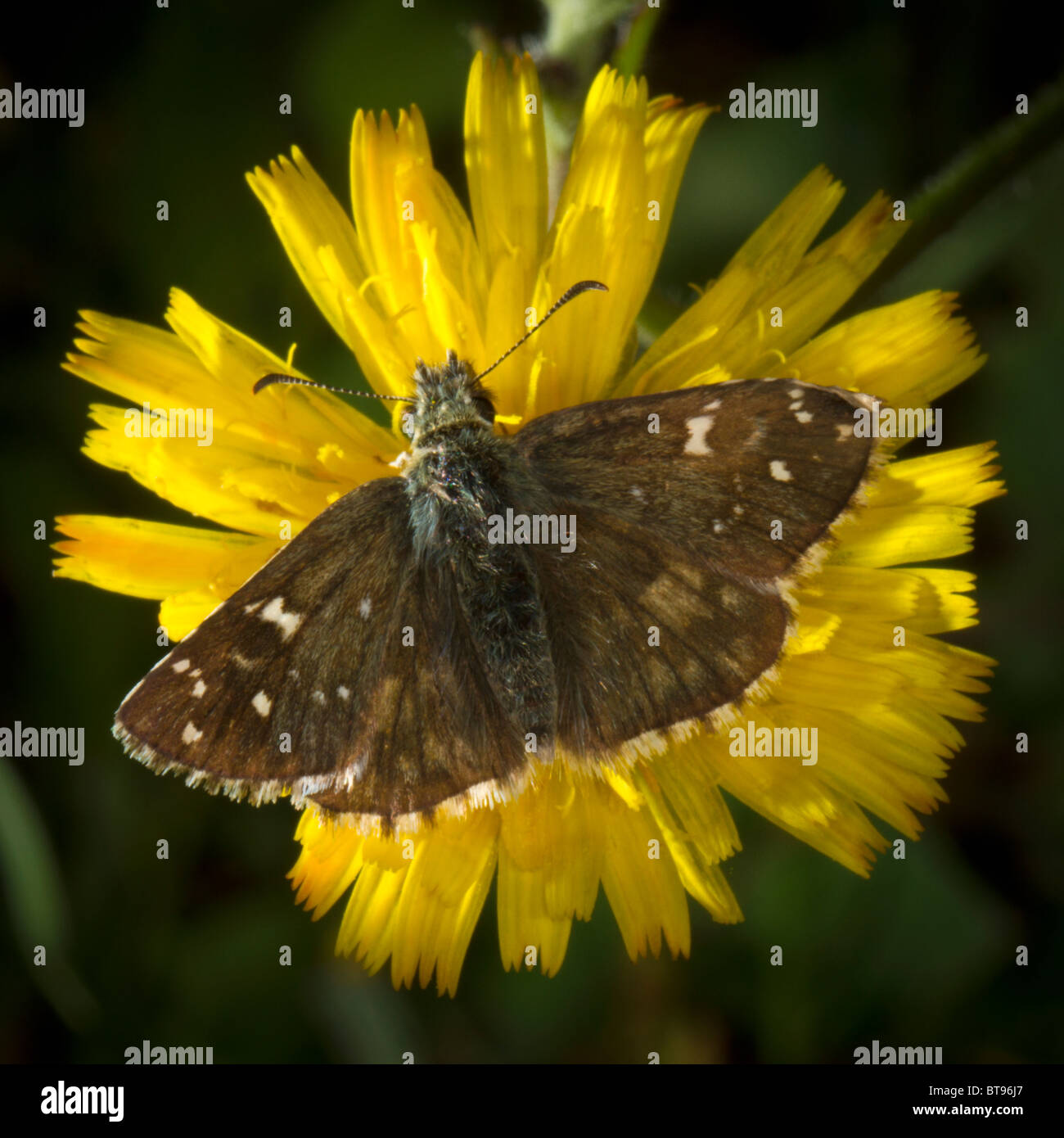 Brown butterfly on a dandelion.  Member of satyridae, but species not identified; some resemblance to speckled wood - Stock Image