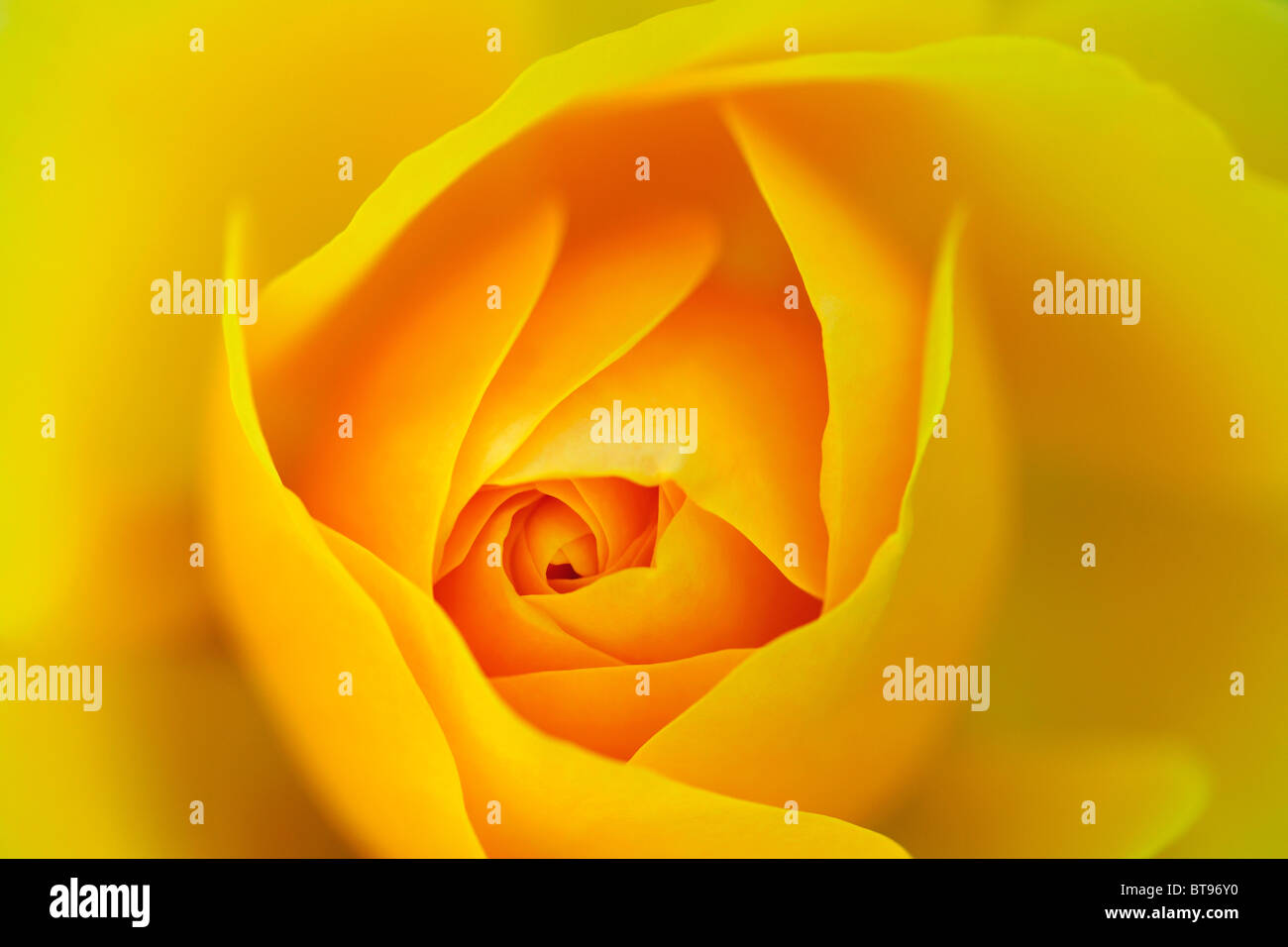 Rose Blooms Yellow Plants Flowers Rosaceae Stock Photos Rose