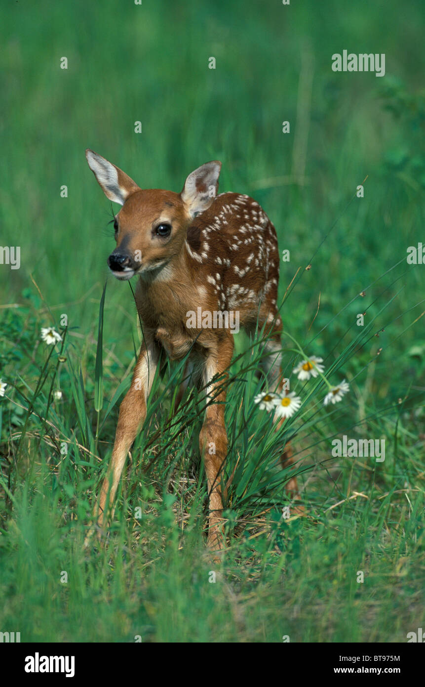 Fallow Deer (Dama dama), fawn - Stock Image