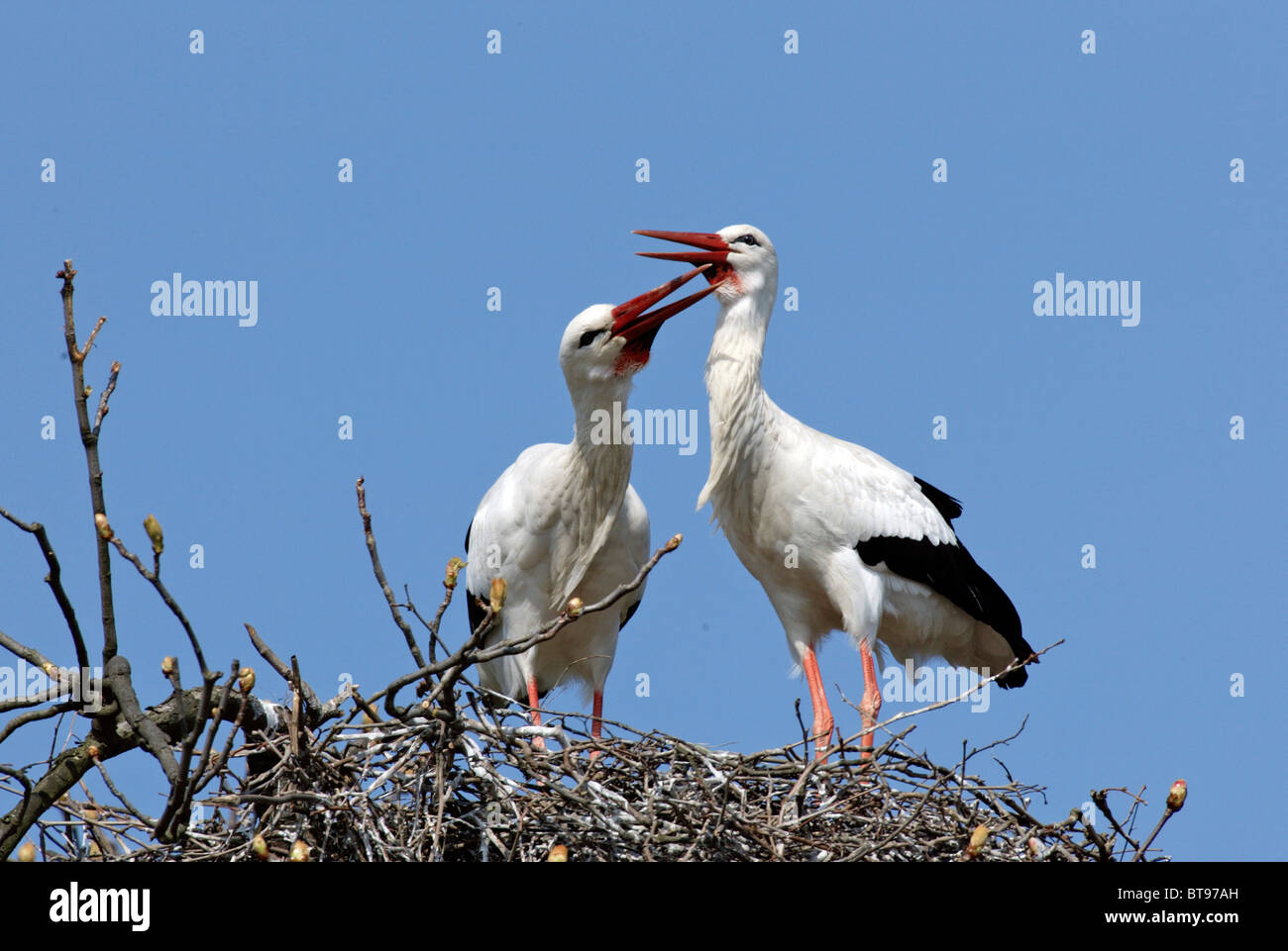 White Stork (Ciconia ciconia), adult, couple on nest, Europe Stock
