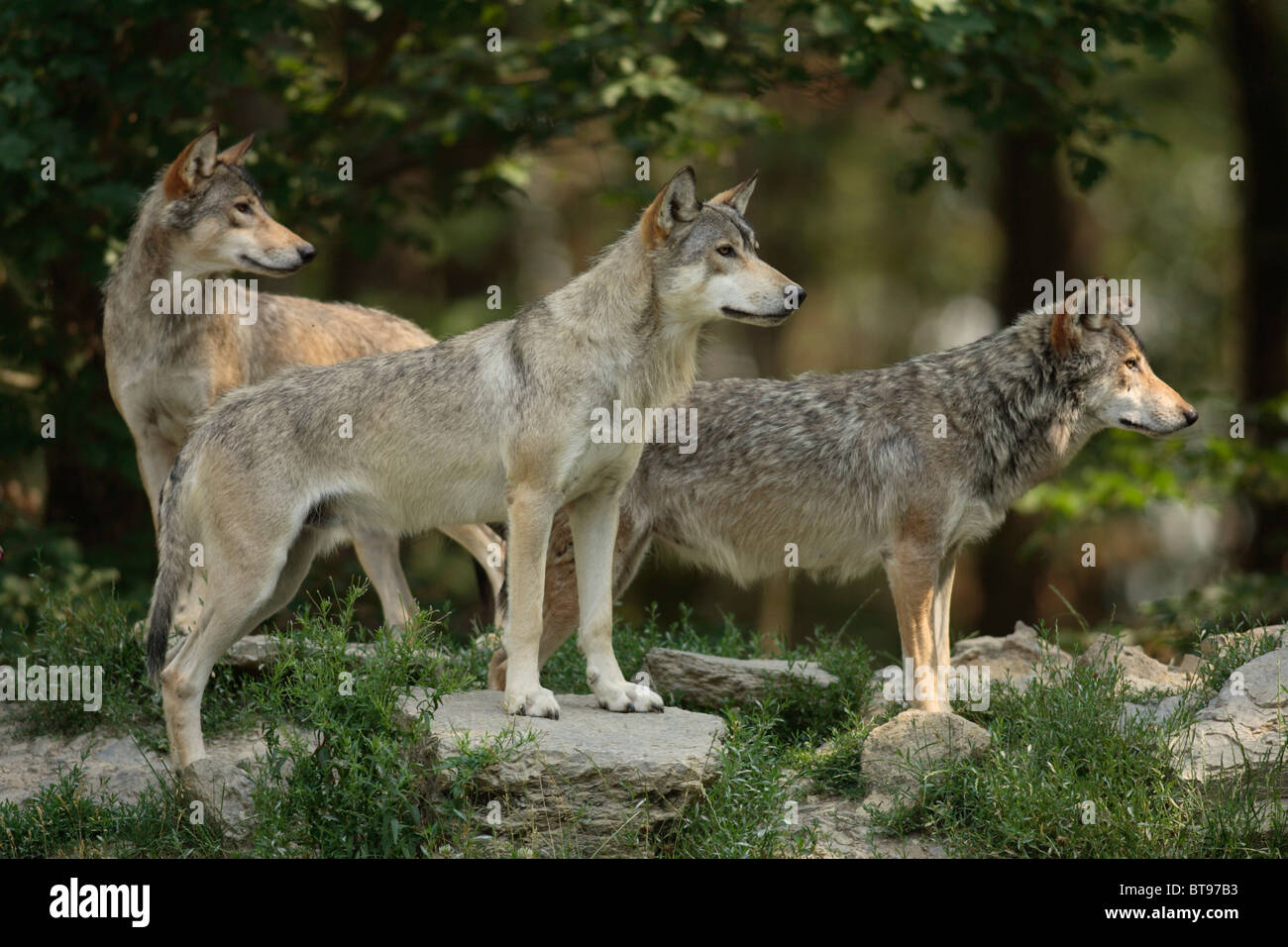 Eastern Canadian Wolf or Eastern Canadian Red Wolf (Canis