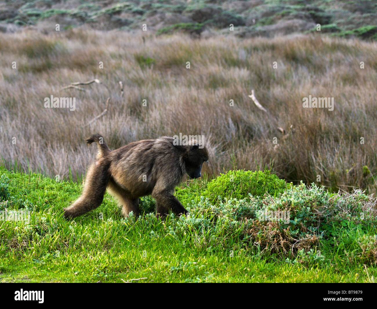 A famous baboon of the 'Cape of Good Hope' is walking looking for some food. Tourists are aware! Don't - Stock Image