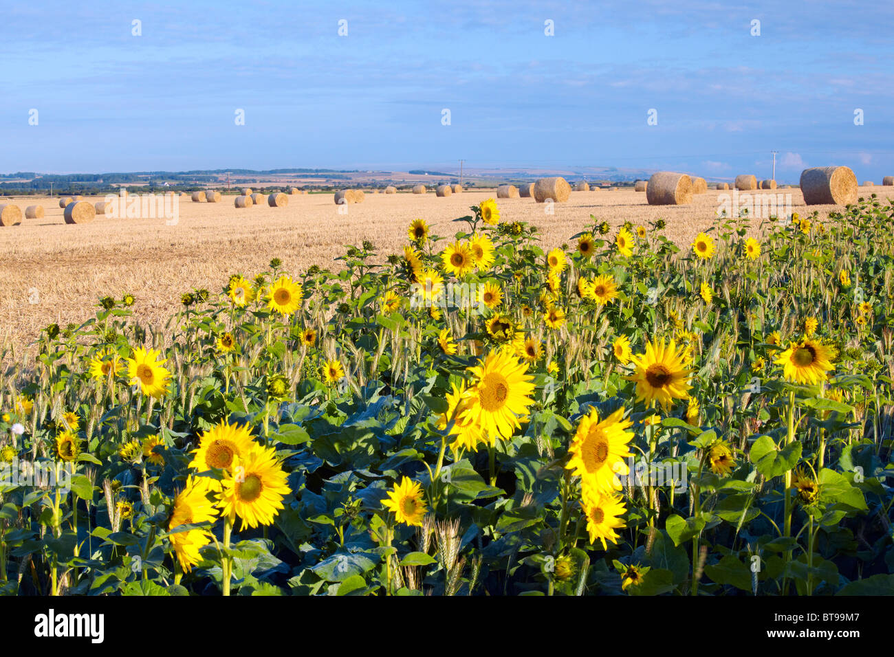 Sunflowers used as conservation headland on a farm in Northumberland - Stock Image