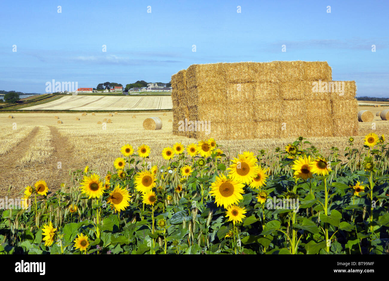 Sunflowers used as conservation headland on a farm at Beal in Northumberland - Stock Image