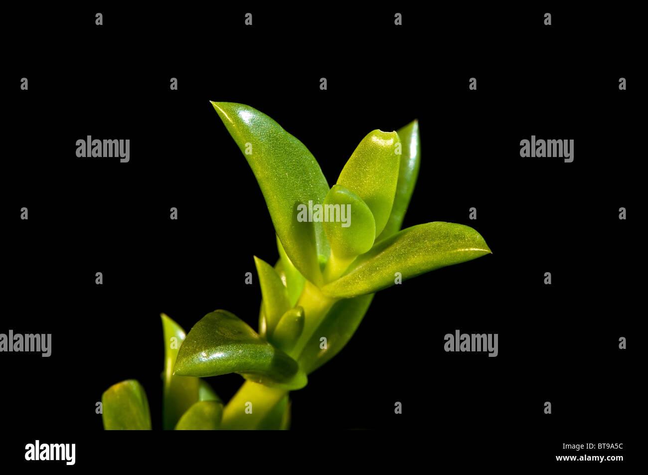 Kanna Kougoed Sceletium tortuosum Stock Photo: 32167672 - Alamy