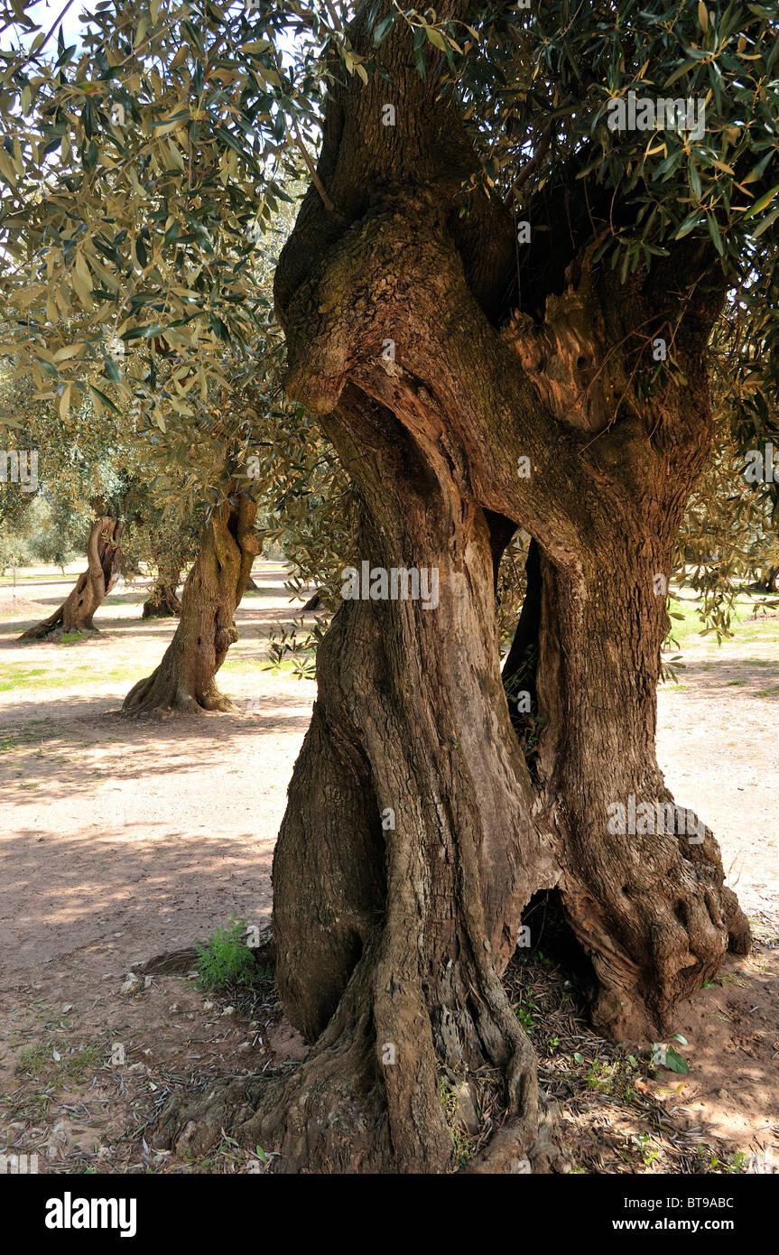Castri di Lecce (LE). Puglia. Italy. Centuries old olive trees. - Stock Image