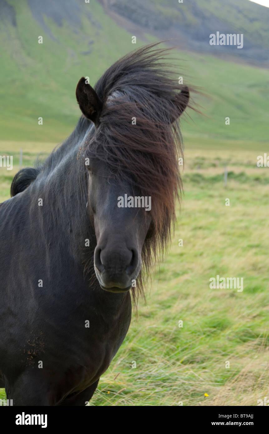 Icelandic Black horse pictures photos