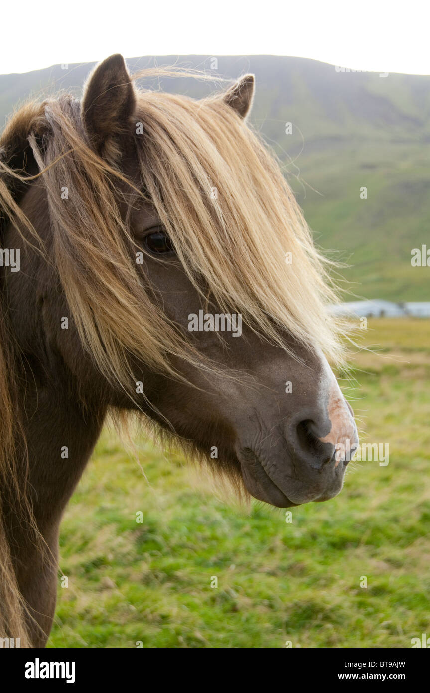 Iceland, Porsmork Park. Special breed, pure Icelandic horse. Chestnut colored mare with long mane. - Stock Image