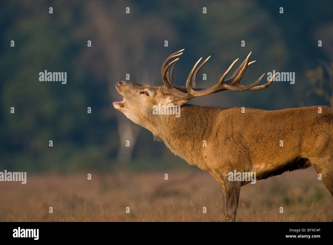 Red deer stag roars during the rut (Cervus elaphus). New Forest, England. - Stock Image