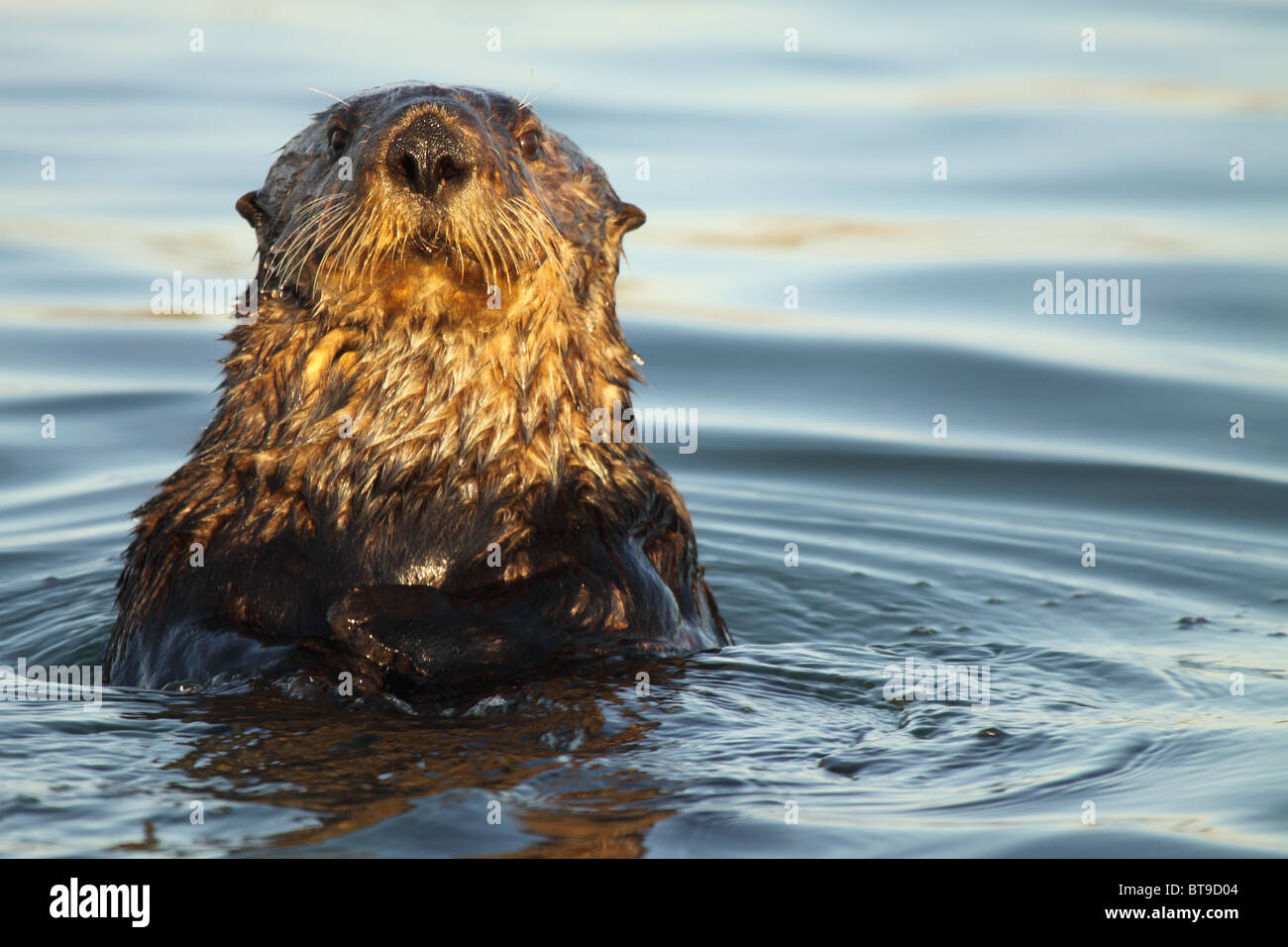 A Sea Otter popping up for a better look. - Stock Image