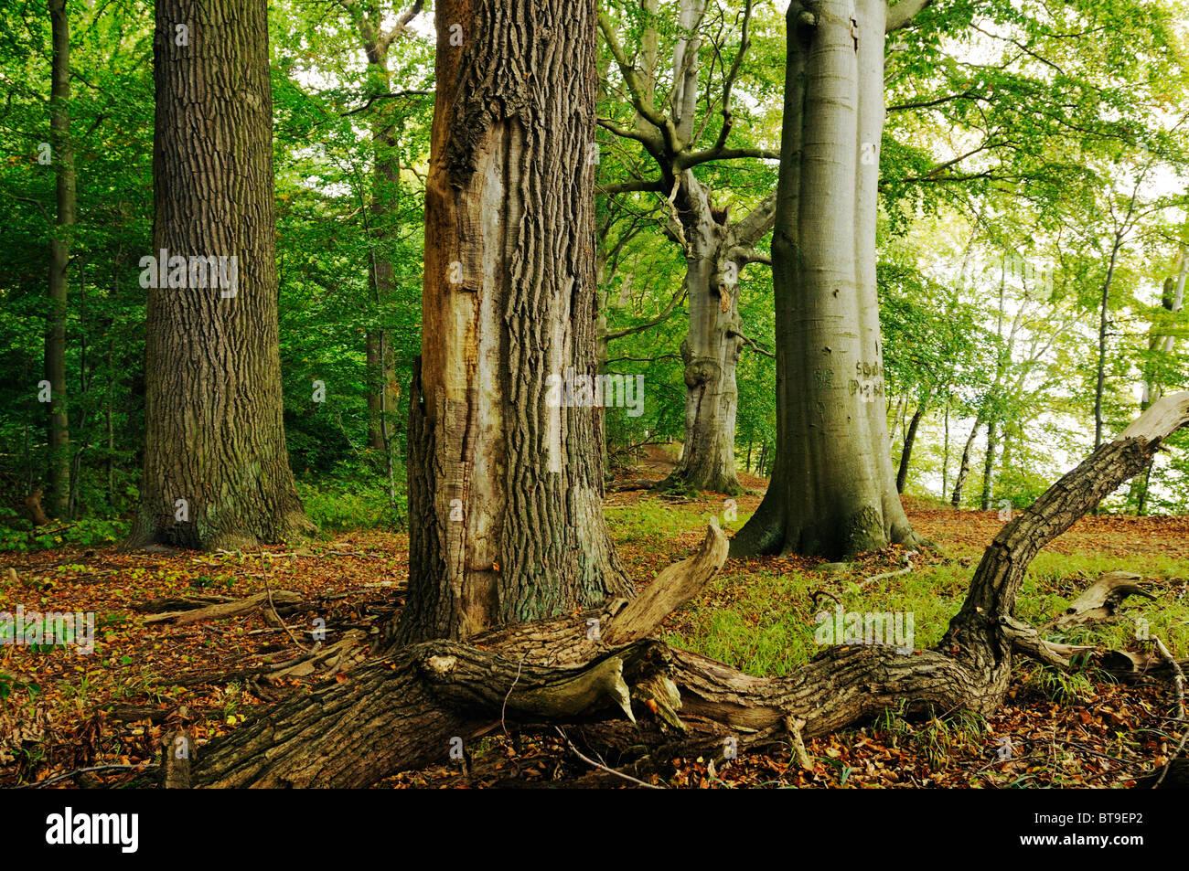 Century-old trees in the Naturschutzgebiet Insel Vilm nature reserve in the Biosphaerenreservat Suedost-Ruegen Biosphere - Stock Image