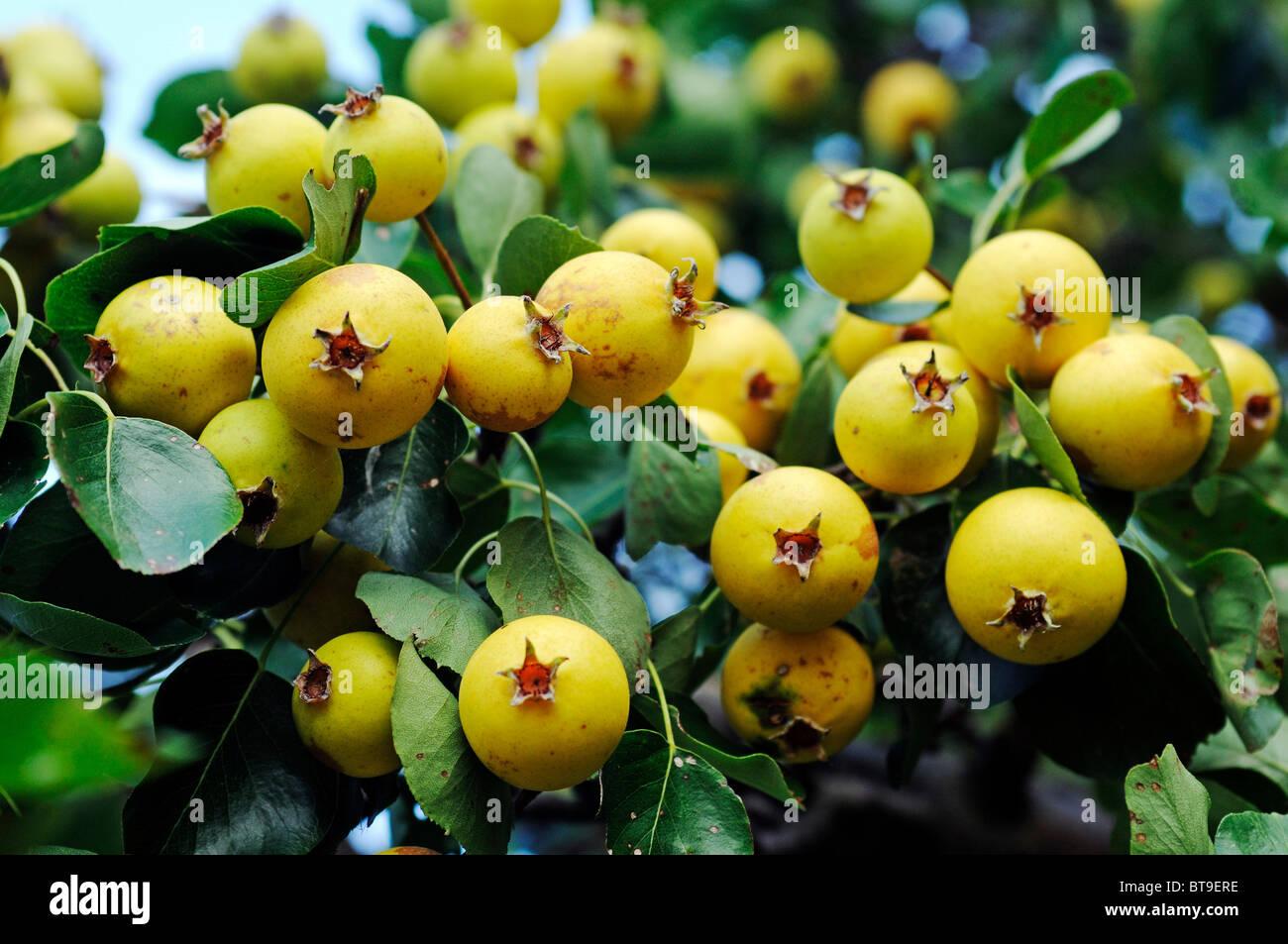 Wild Pear (Pyrus pyraster), pear, Biosphaerenreservat Suedost-Ruegen Biosphere Reserve South-East Ruegen, Ruegen - Stock Image
