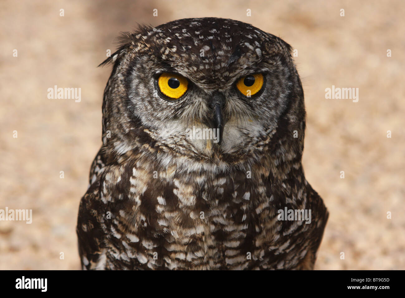 awl, south Africa, young, bird - Stock Image