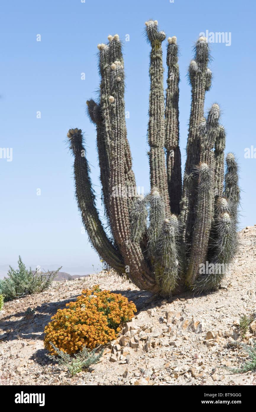 Cactus is covered by lichen surviving due to persist fog Helotriopium linariifolium in flower NP Pan de Azucar Atacama - Stock Image