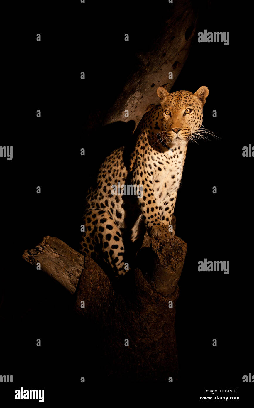 Leopard in tree at night, Kruger National Park, South Africa. - Stock Image
