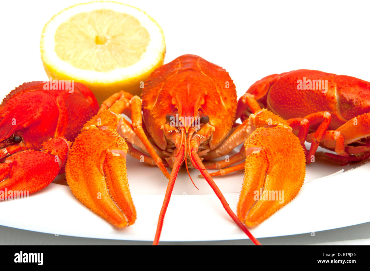 Freshwater crayfish; Flusskrebs - Stock Image