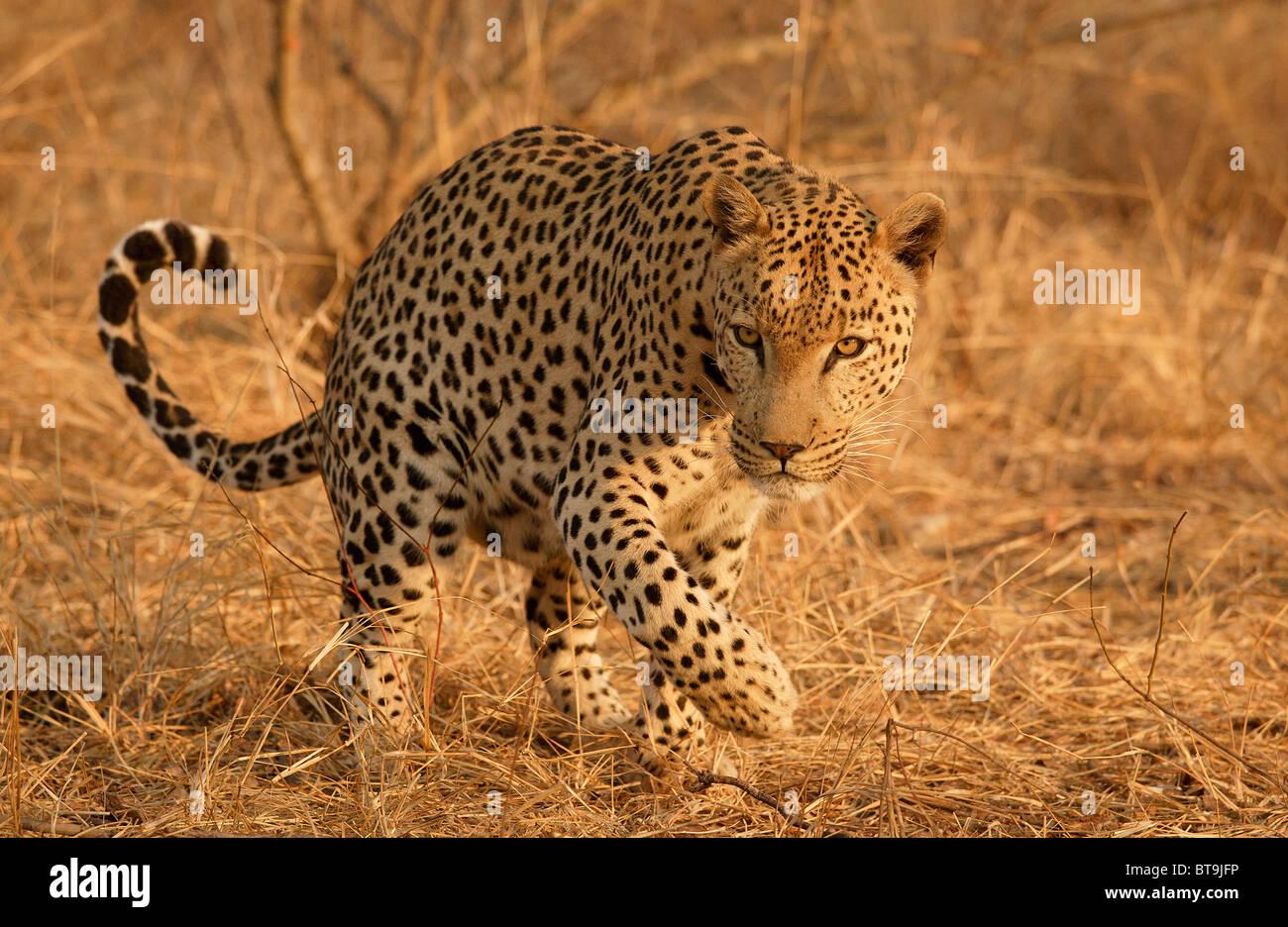 Leopard scent marking, Kruger National Park, South Africa - Stock Image
