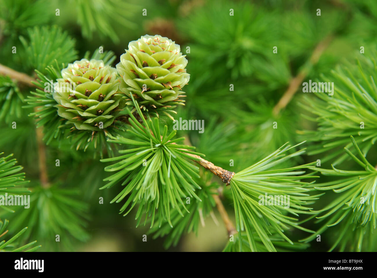 Larch Cones Stock Photos & Larch Cones Stock Images