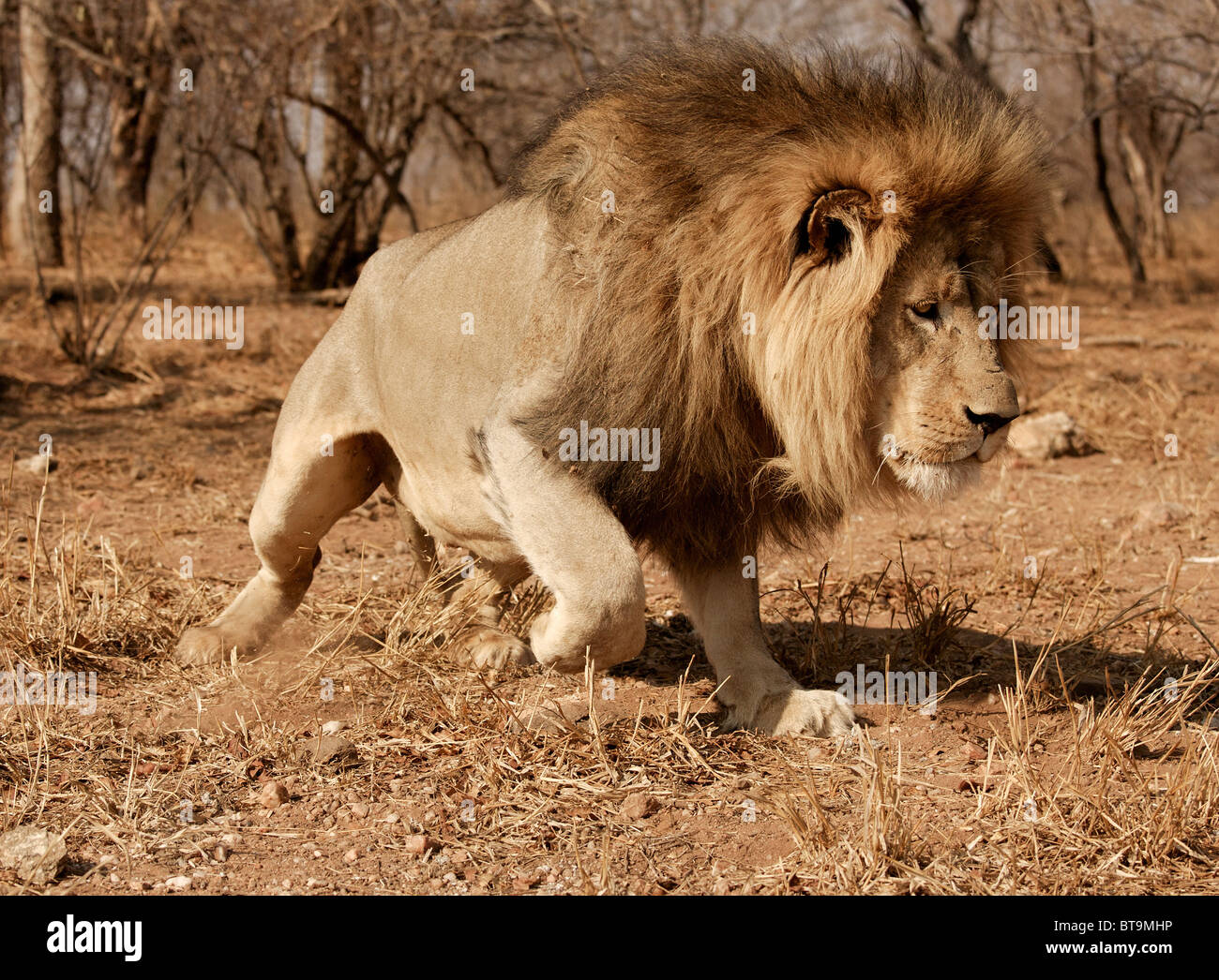 Lion approaching swiftly to food. Kruger National Park, South Africa. - Stock Image