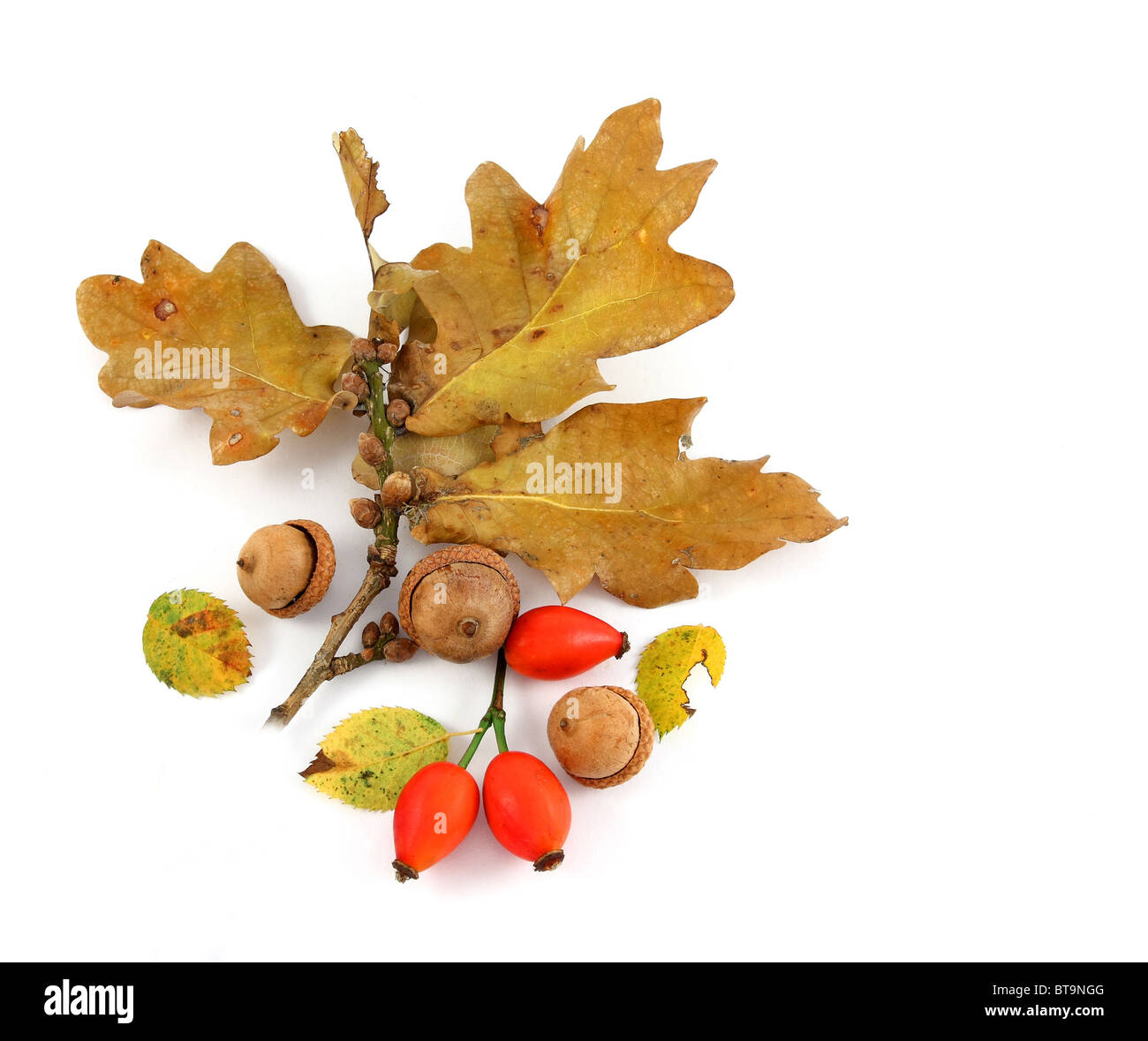 Oak twig with rose hips and acorns - Stock Image