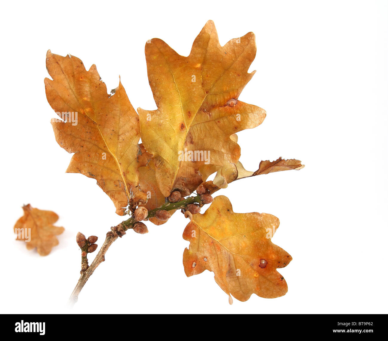 autumn oak twig with yellow leaves - Stock Image