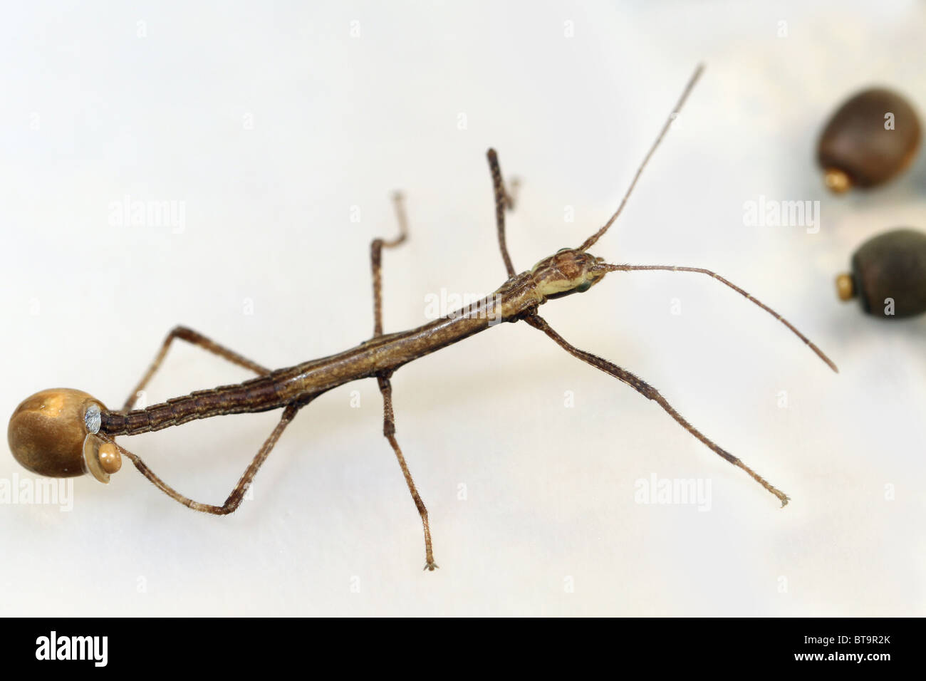 Walking Stick Insect Stock Photos & Walking Stick Insect Stock