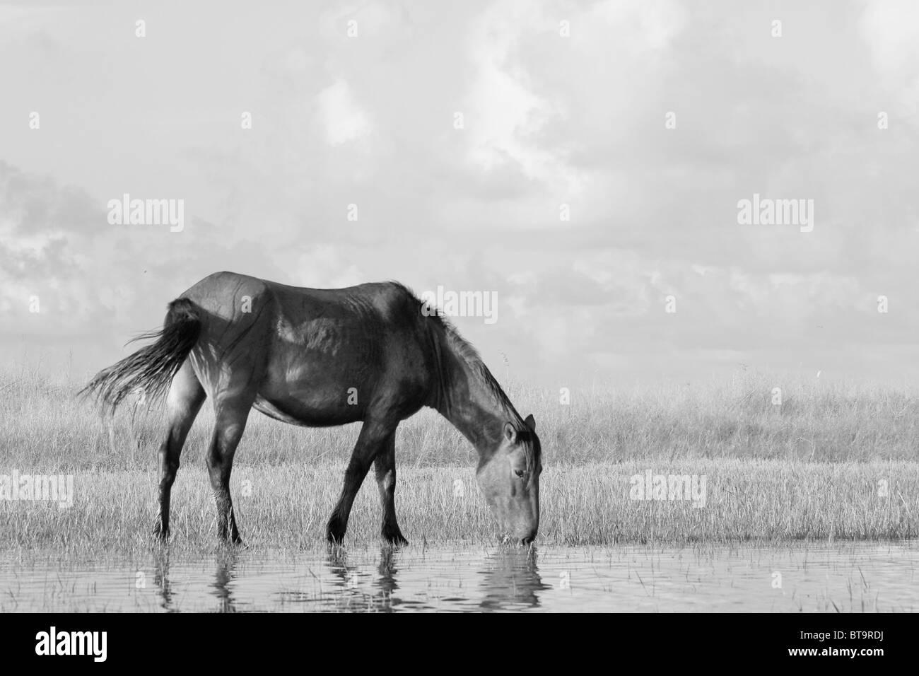 A wild Mustang feeds on marsh grass along the North Carolina coast. - Stock Image