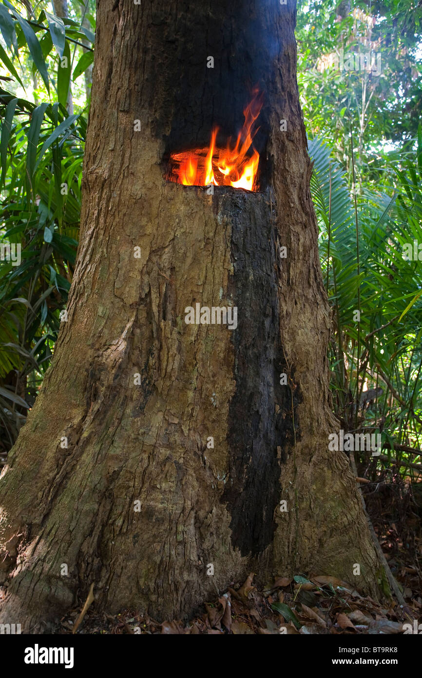 HAIRY-LEAFED APITONG TREE (Dipterocarpus alatus) being tapped for oleoresin, Koh Ra, southern Thailand. Endangered - Stock Image