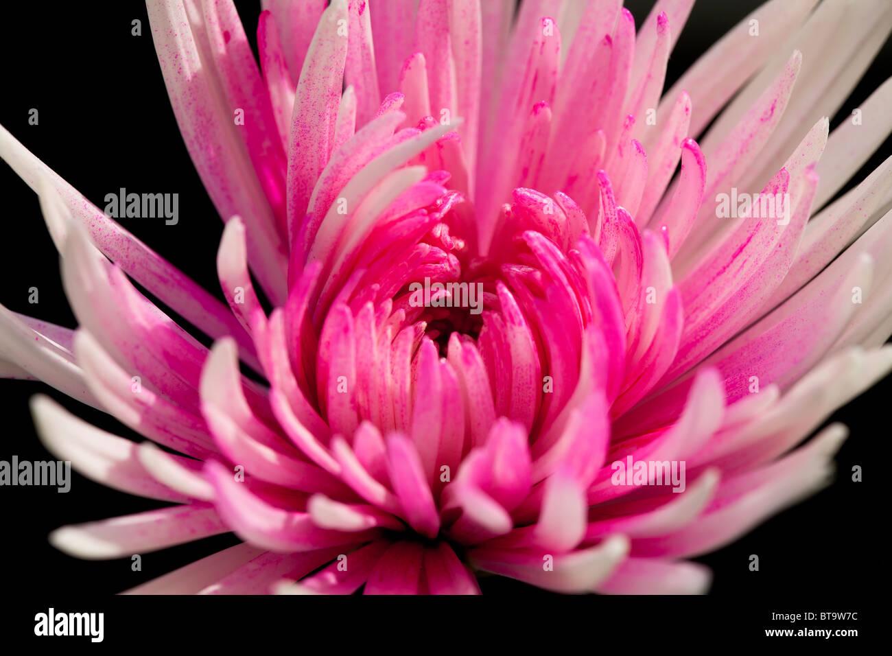White mum flower stock photos white mum flower stock images alamy pink and white chrysanthemum flower stock image mightylinksfo