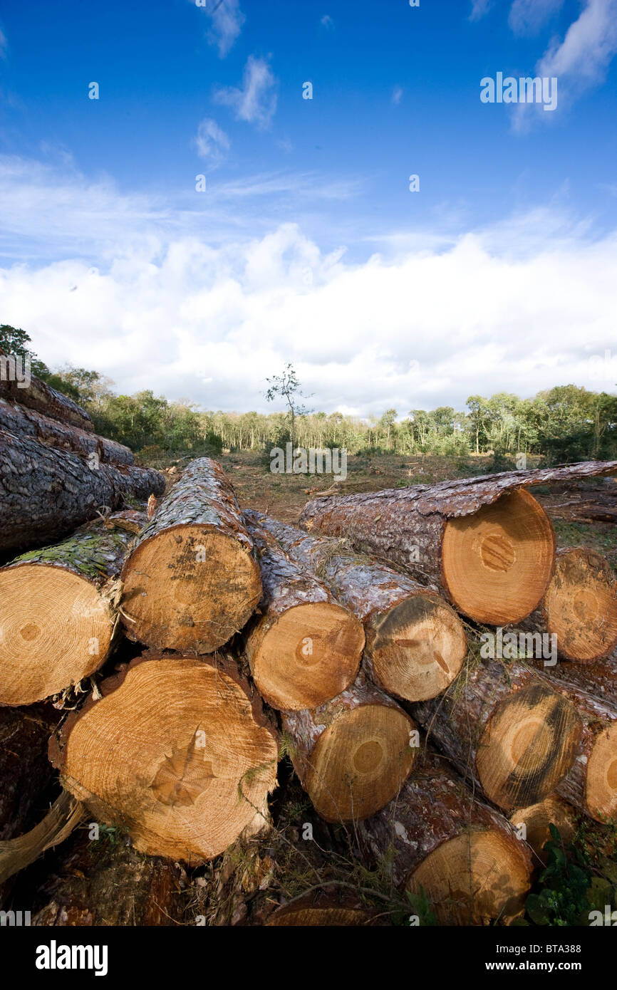 Newly Felled timber stacked awaiting transport from the forest - Stock Image