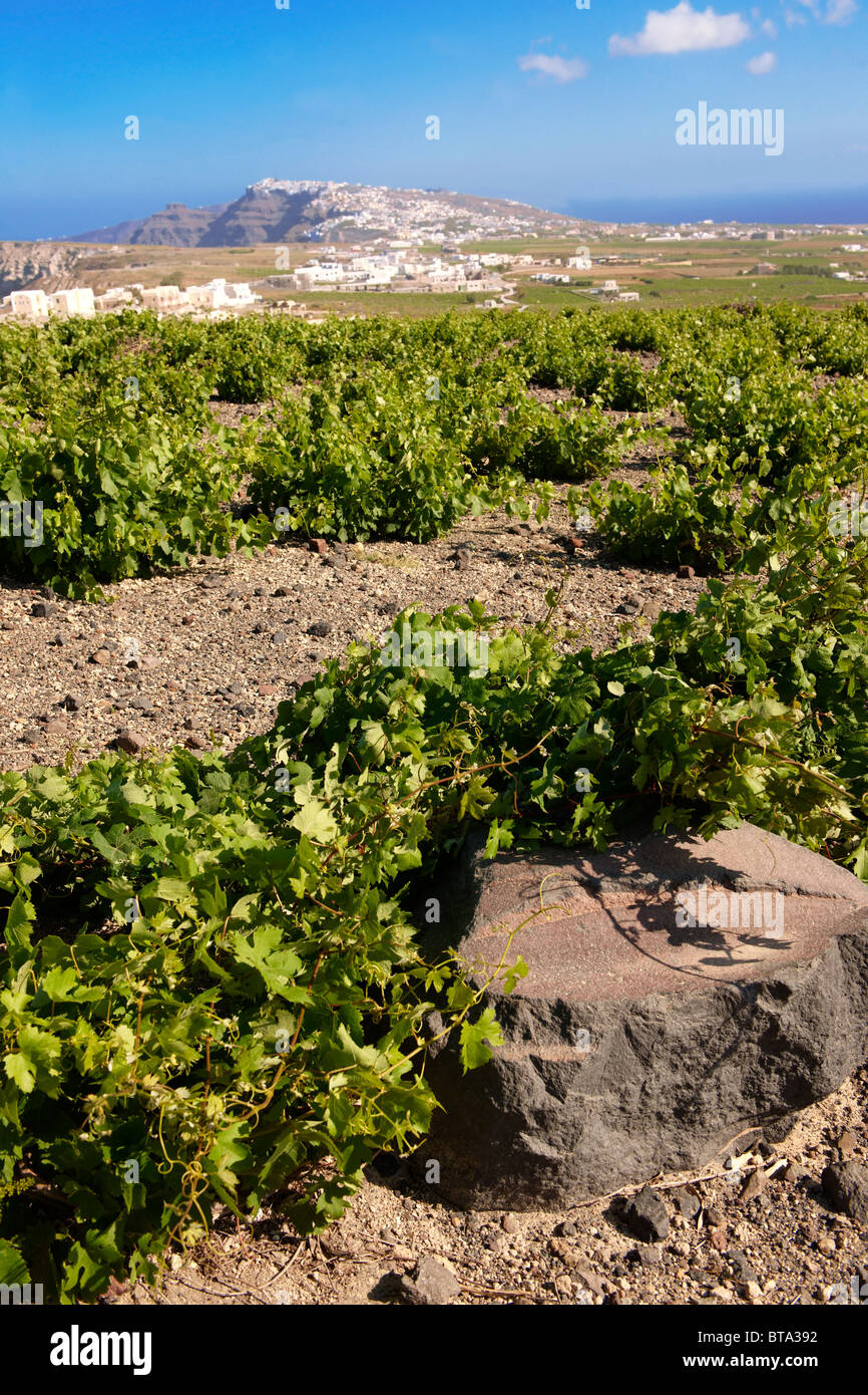 Low growing vines of Santorini, Greece - Stock Image