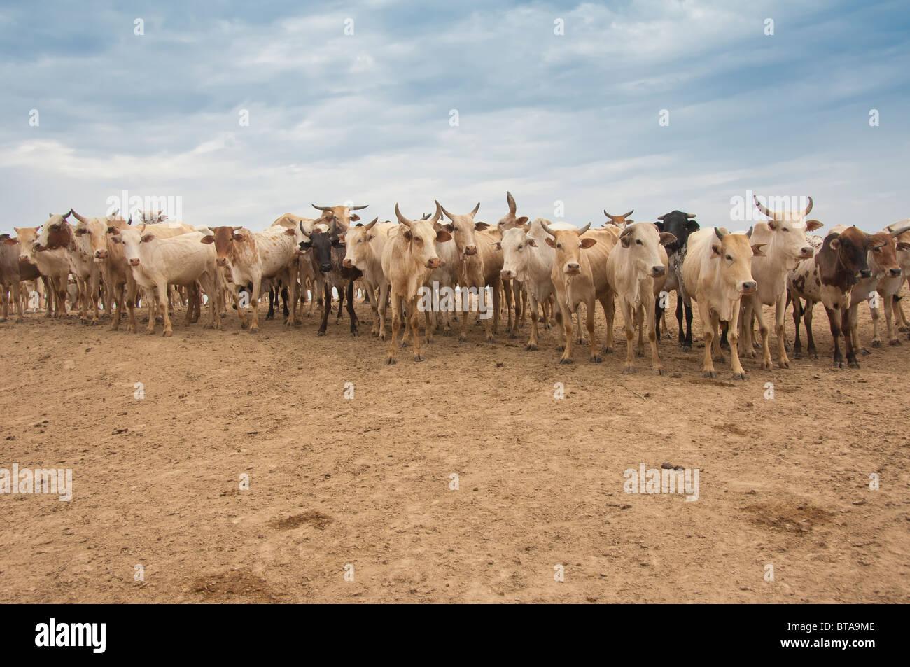 Cow herd, Nyangatom (Bumi) tribe, Omo River Valley, Ethiopia Stock Photo