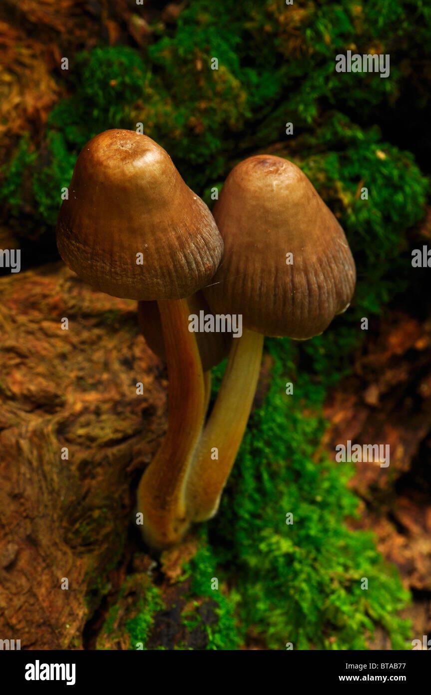 Mushrooms growing on a log in Bramingham wood, Luton, Bedfordshire - Stock Image