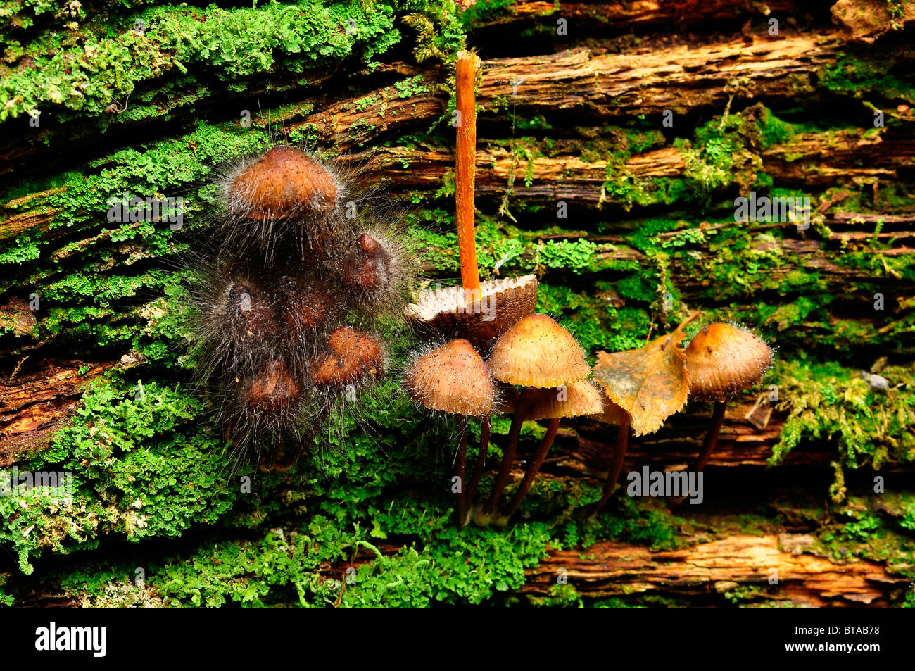 Mushrooms growing on a log being attacked by Pin mold fungus in Bramingham wood, Luton, Bedfordshire Stock Photo