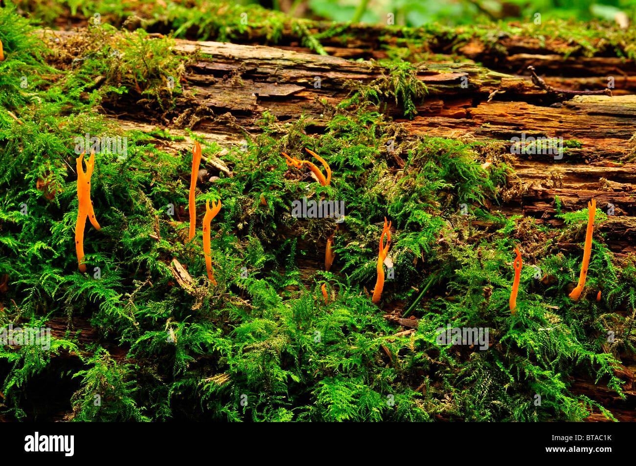 Yellow Stagshorn fungus in Putteridge Bury, Luton, England - Stock Image