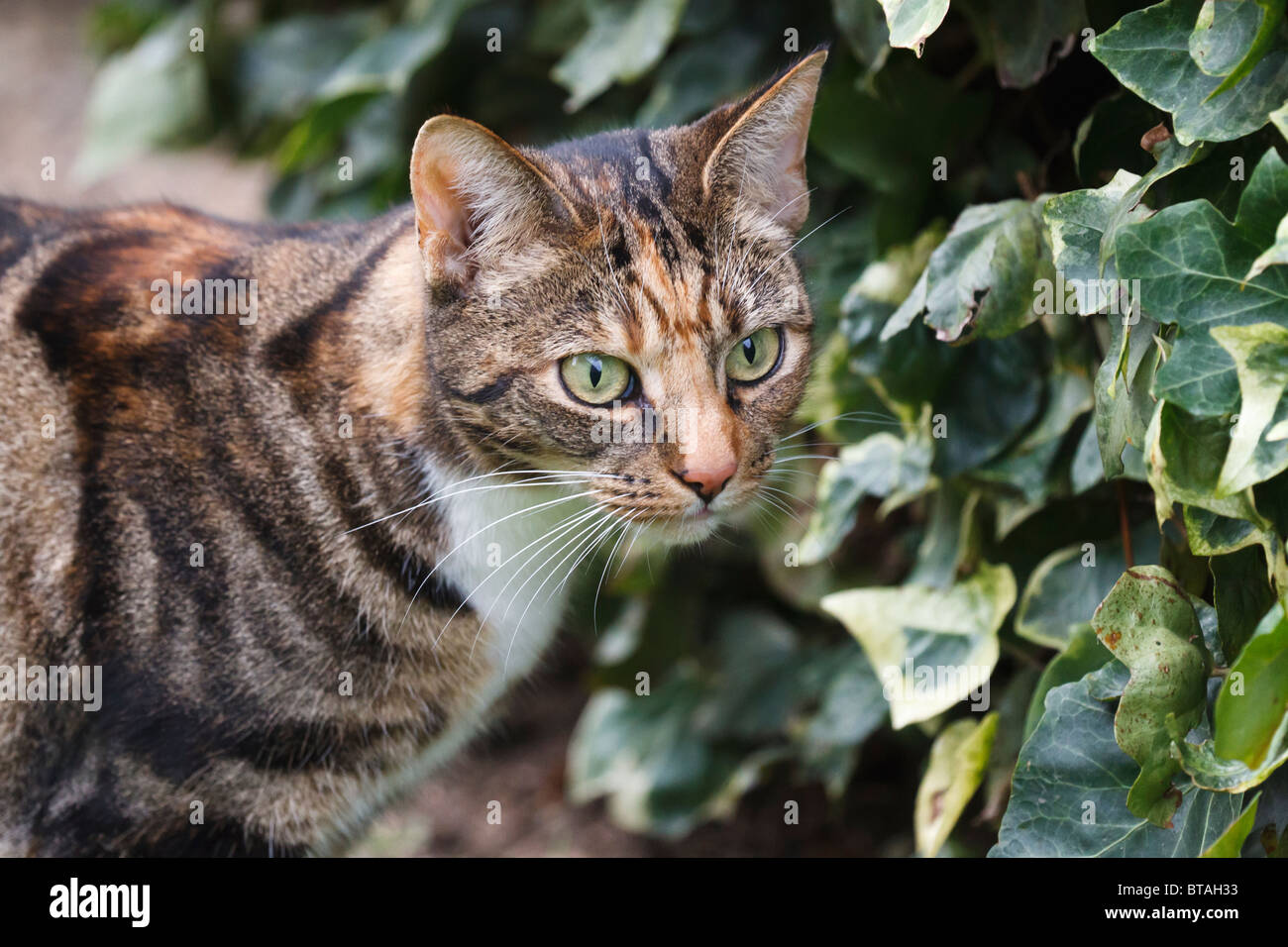 Female Brown Black Tabby Cat Stock Photos Amp Female Brown