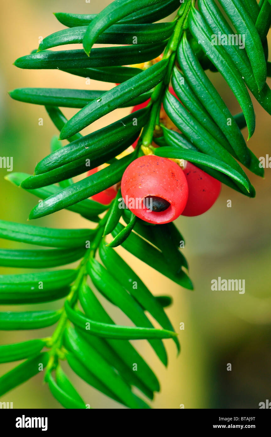 Yew tree with poisonous red berries in Luton, Bedfordshire, England, UK - Stock Image
