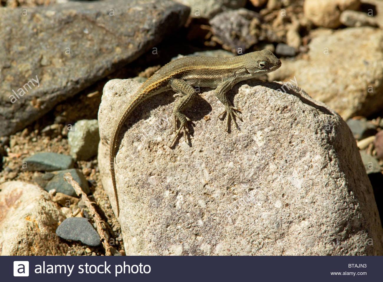 Striped Plateau Lizard Sceloporus  virgatus Arizona Stock Photo