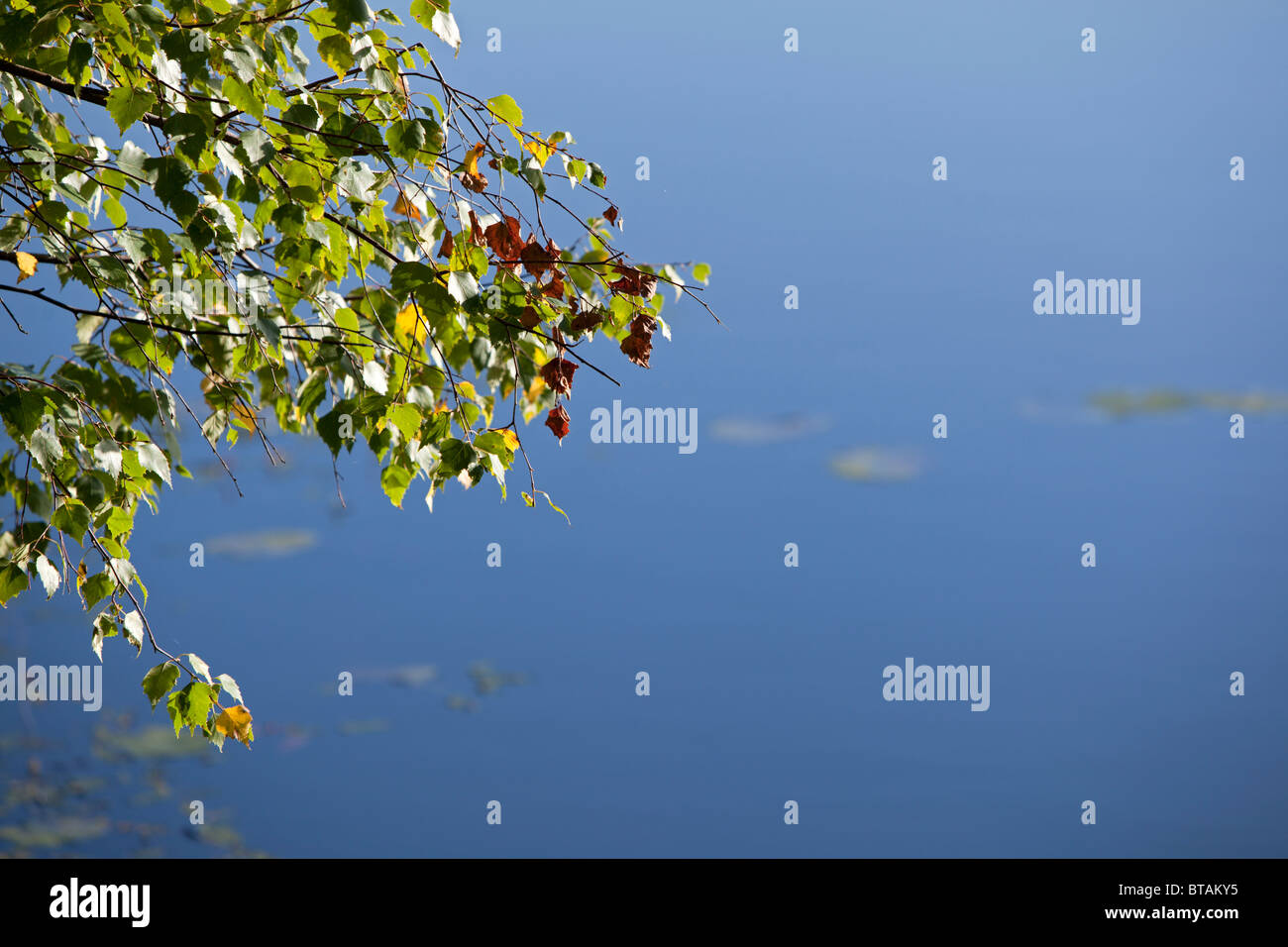 End of summer background with copyspace, birch leaves against water. View from Sweden on the Stockholm archipelago - Stock Image