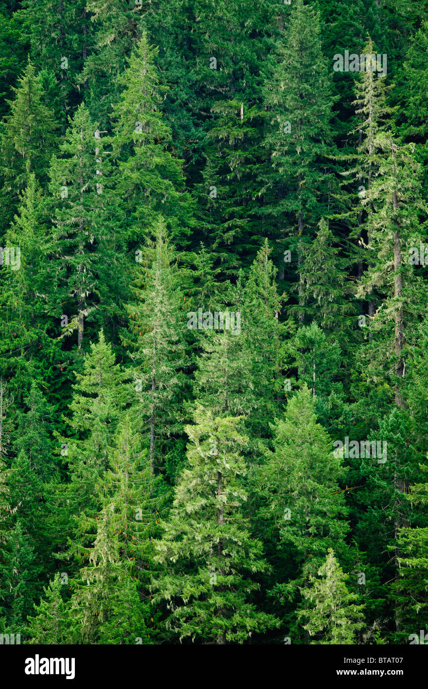 coniferous forest, primarily Douglas-fir trees, Cascade River drainage, Mount Baker-Snoqualmie National Forest, - Stock Image