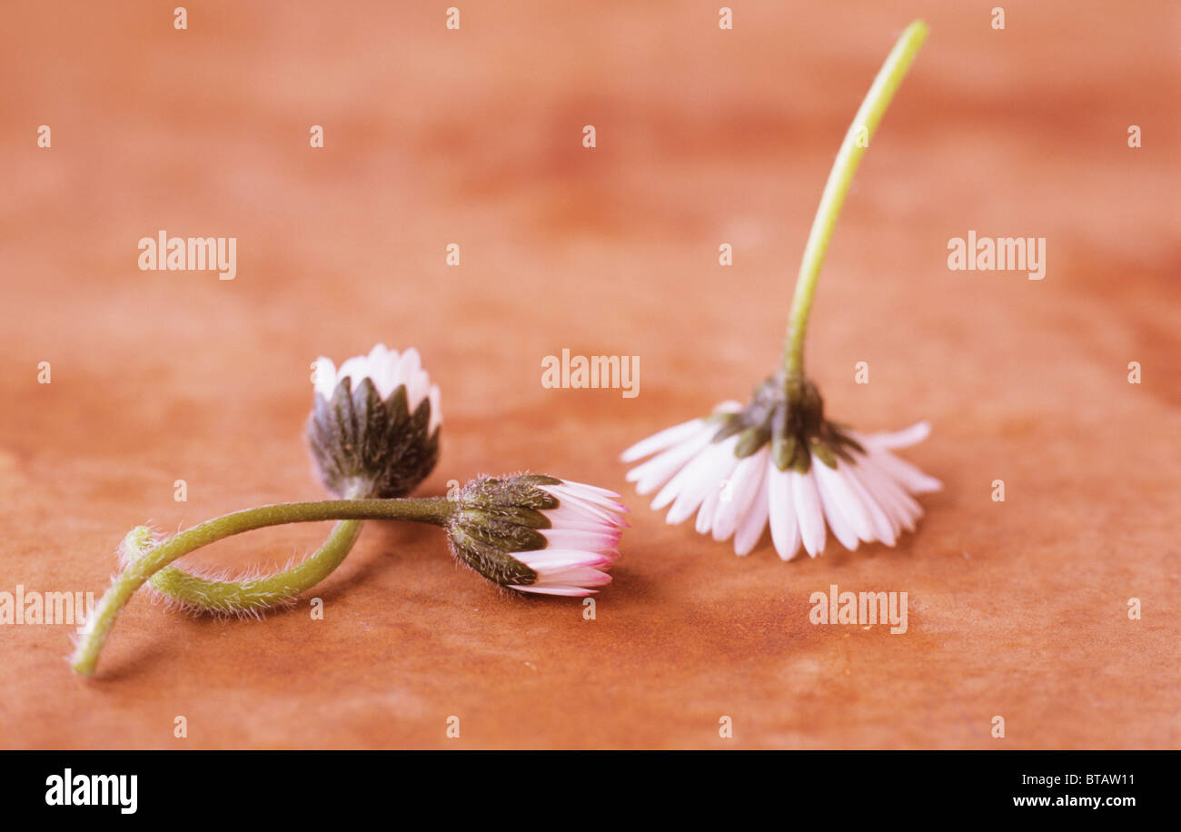 Close up of three flowers of Lawn daisy or Bellis perennis lying or standing face down on brown mottled surface - Stock Image
