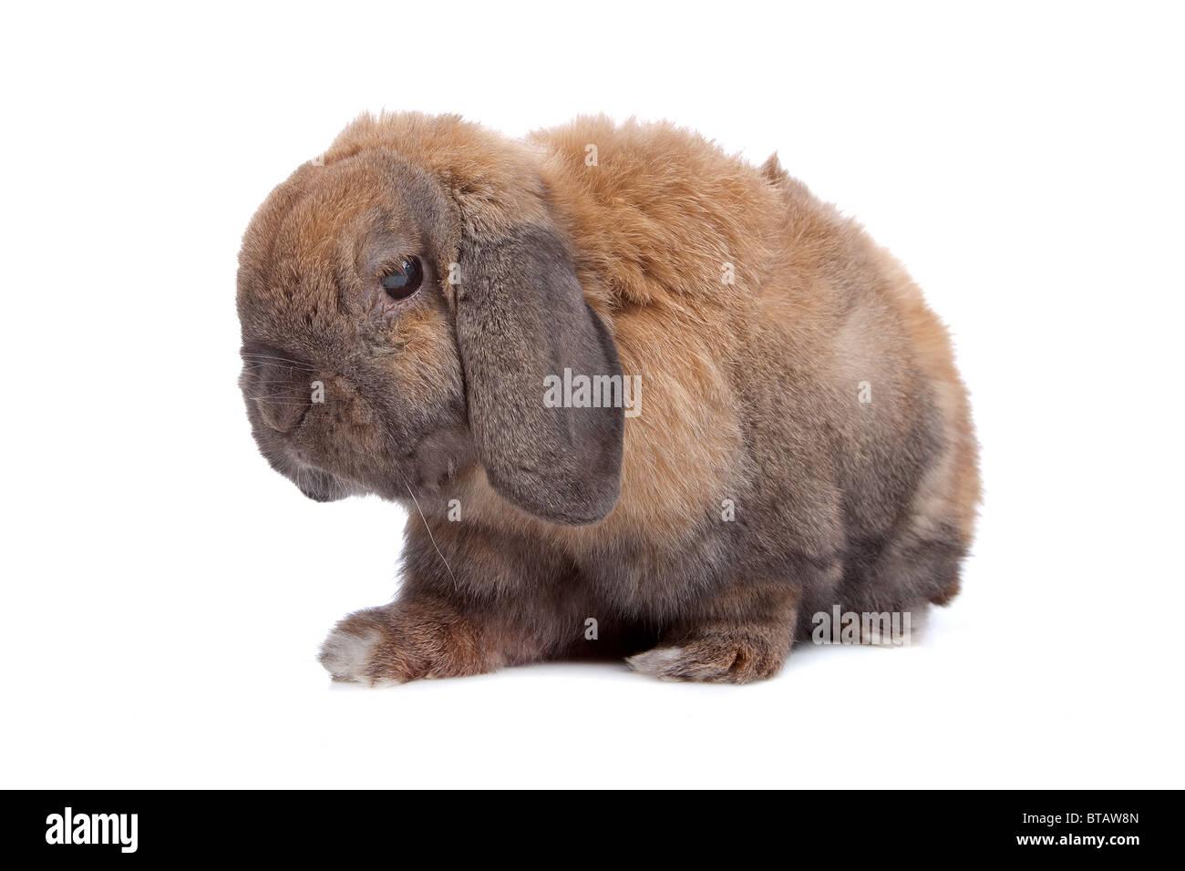 rabbit  isolated on white - Stock Image