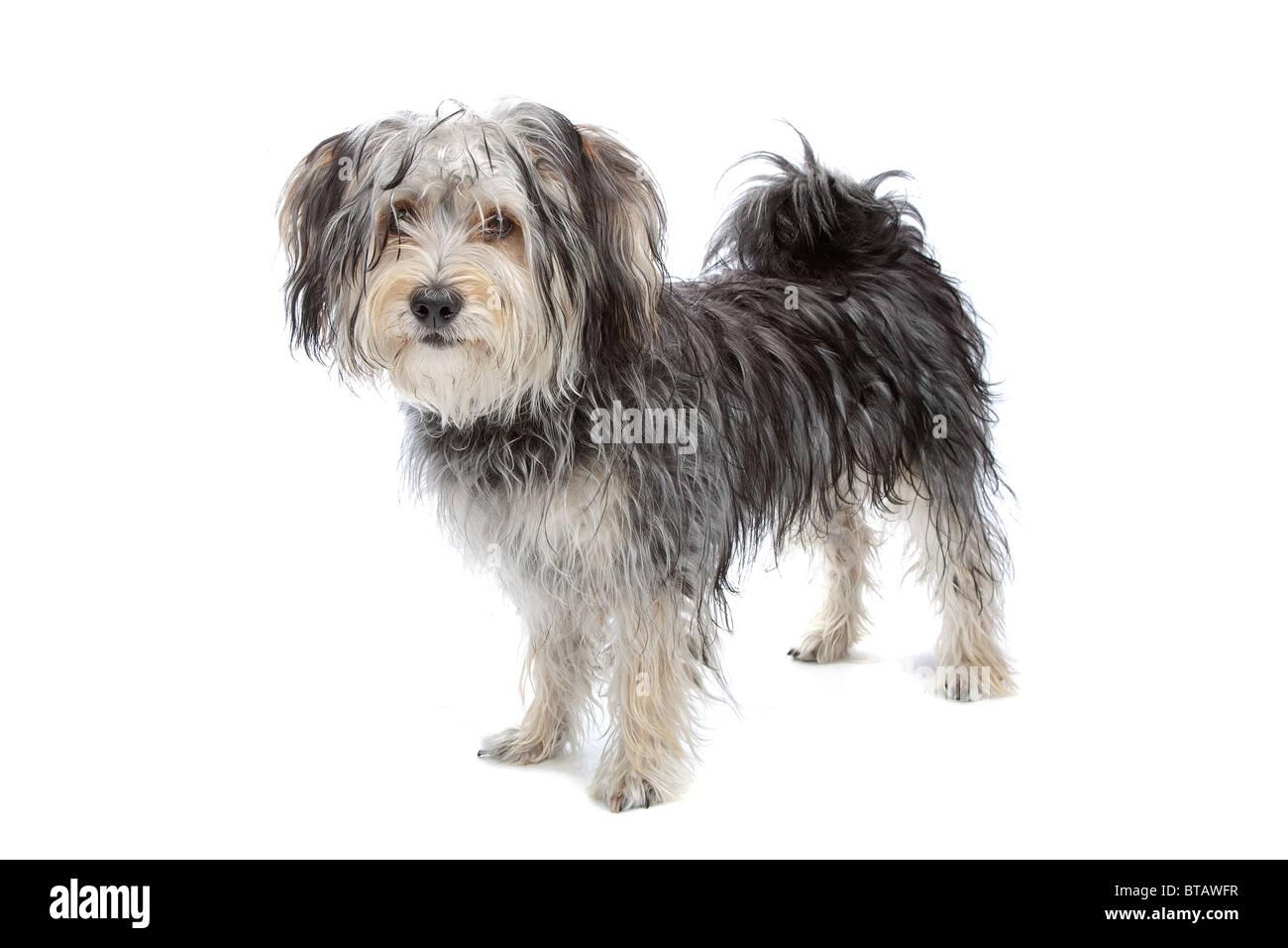 Mixed Breed Maltese Dog Yorkshire Terrier Stock Photo 32201675